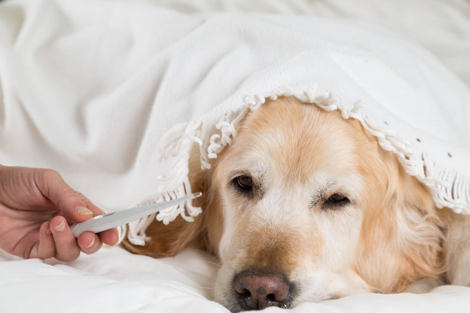 Golden Retriever sous les couvertures ayant attrapé froid