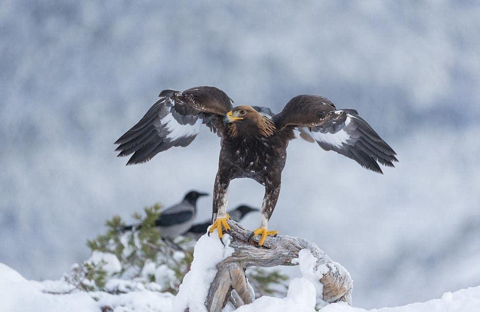 Aigle royal dans la montagne enneigée