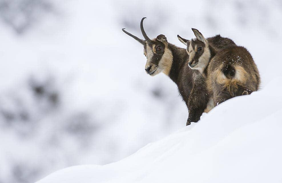 Deux chamois dans la montagne enneigée
