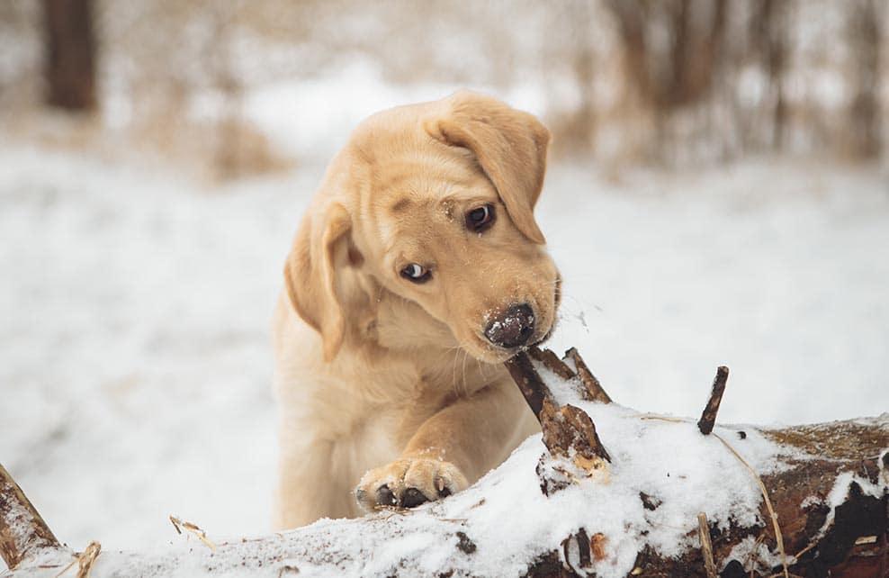 Chiot labrador dans la neige