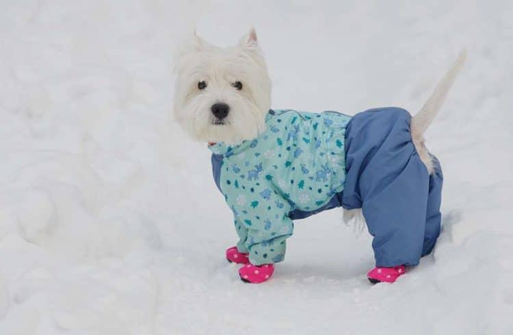 Petit chien blanc avec manteau et chaussons protecteurs pour le froid