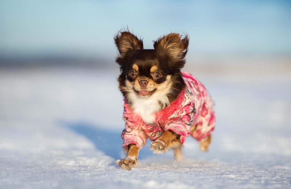 Chien chihuahua courant dans la neige avec son manteau d'hiver