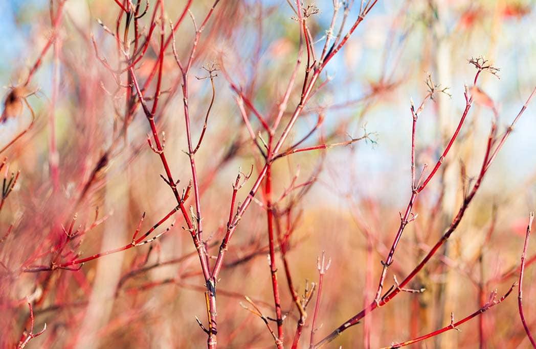 cornouiller rouge pendant l'hiver