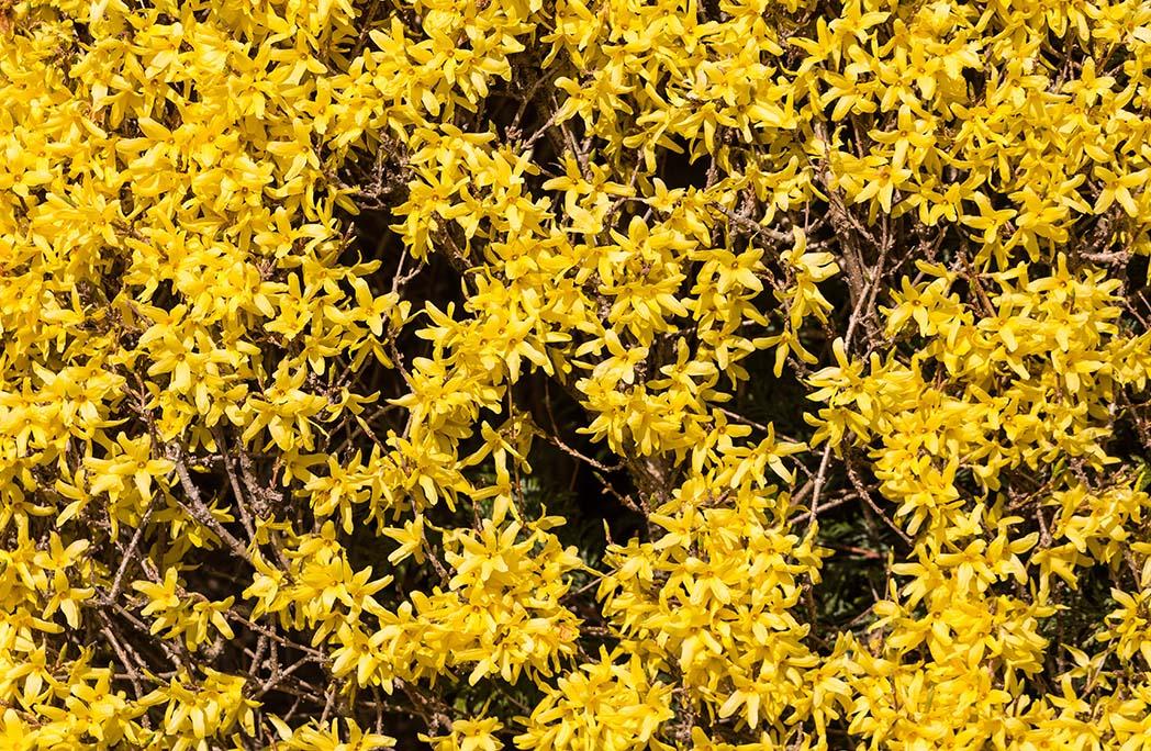 Jasmin d'hiver à floraison jaune