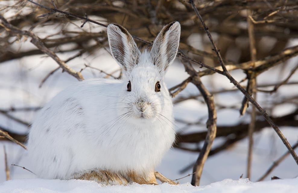 Lièvre blanc l'hiver dans la montagne