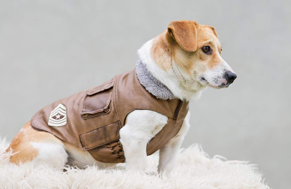 Petit chien avec un manteau en cuir marron