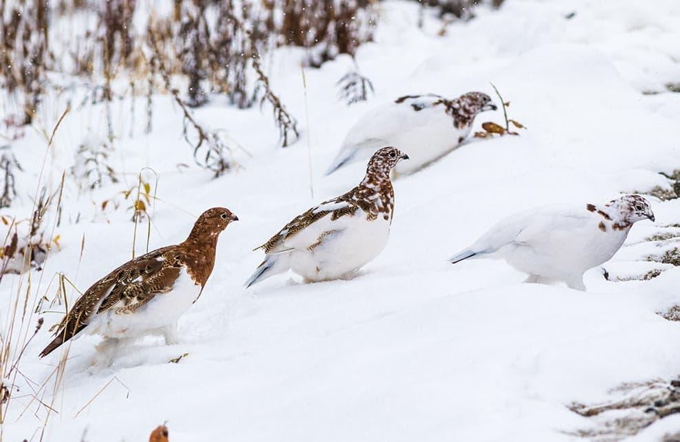 Trois perdrix en montagne l'hiver