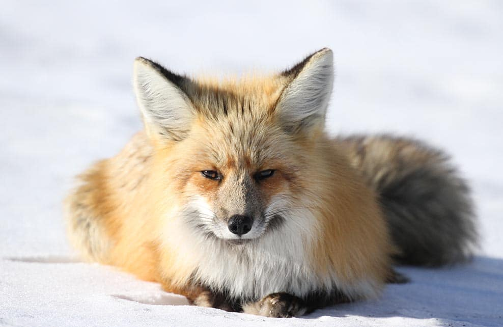 Renard couché dans la neige