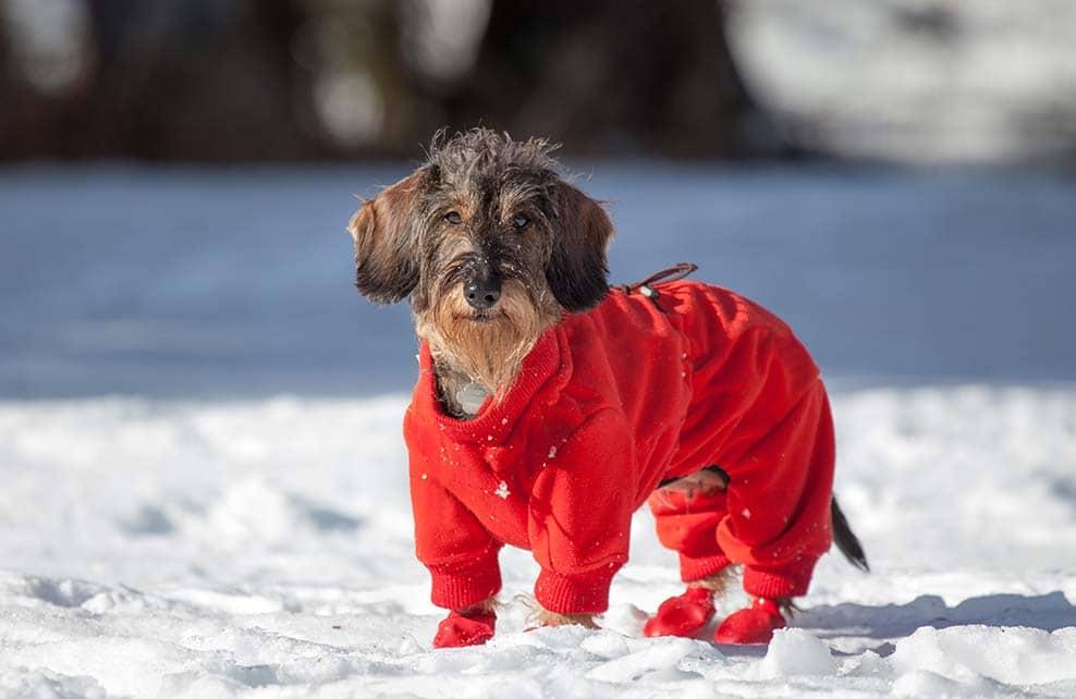 Vieux petit chien dans la neige avec un manteau et des protections pour les pattes