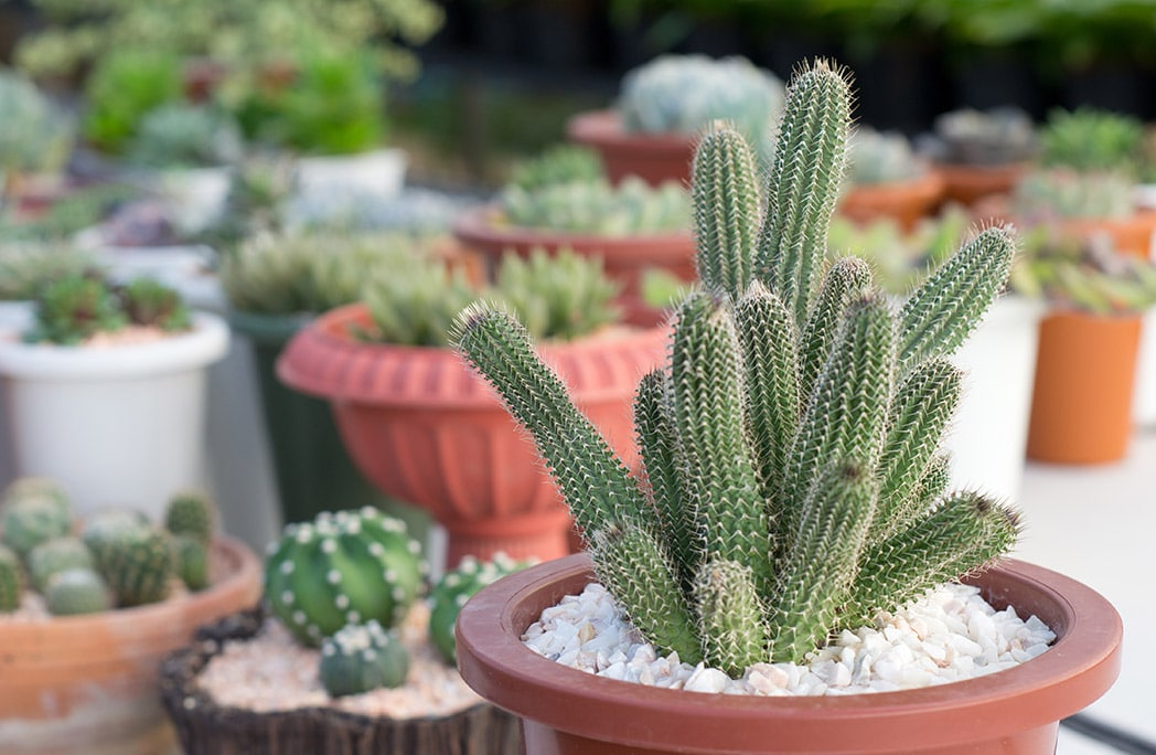 Cactus en pots avec galets