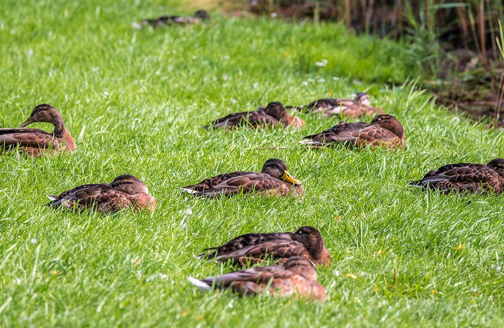 Canards qui dorment dans l'herbe