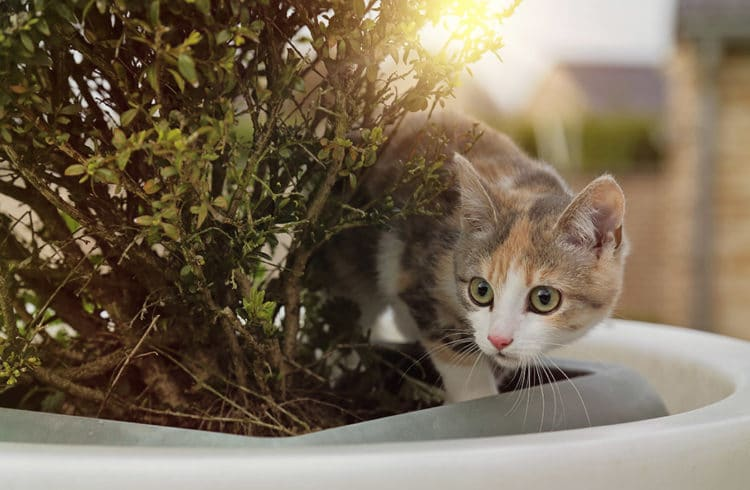 Chaton dans un pot de buis