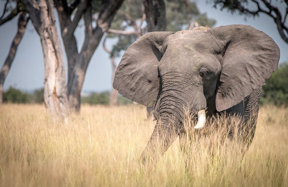 Eléphant marchant dans l'herbe