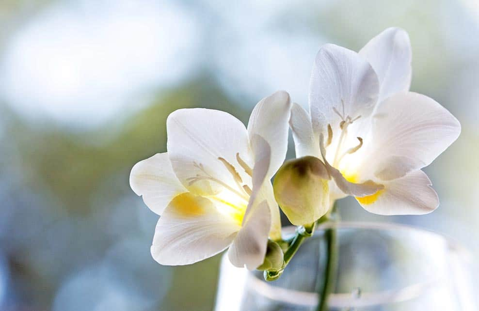 Deux fleurs de freesia blanches dans un vase transparent