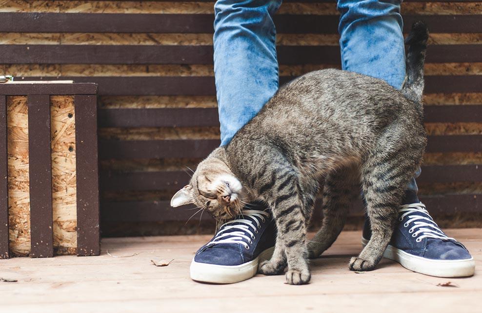 Chat se frottant aux jambes de son maître