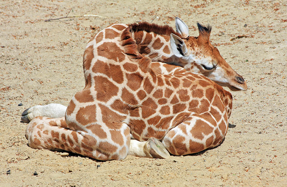 Girafe endormie dans le sable