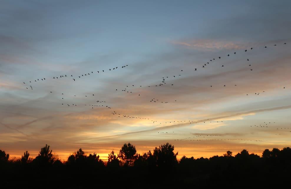Vol de grues en décembre au soleil couchant
