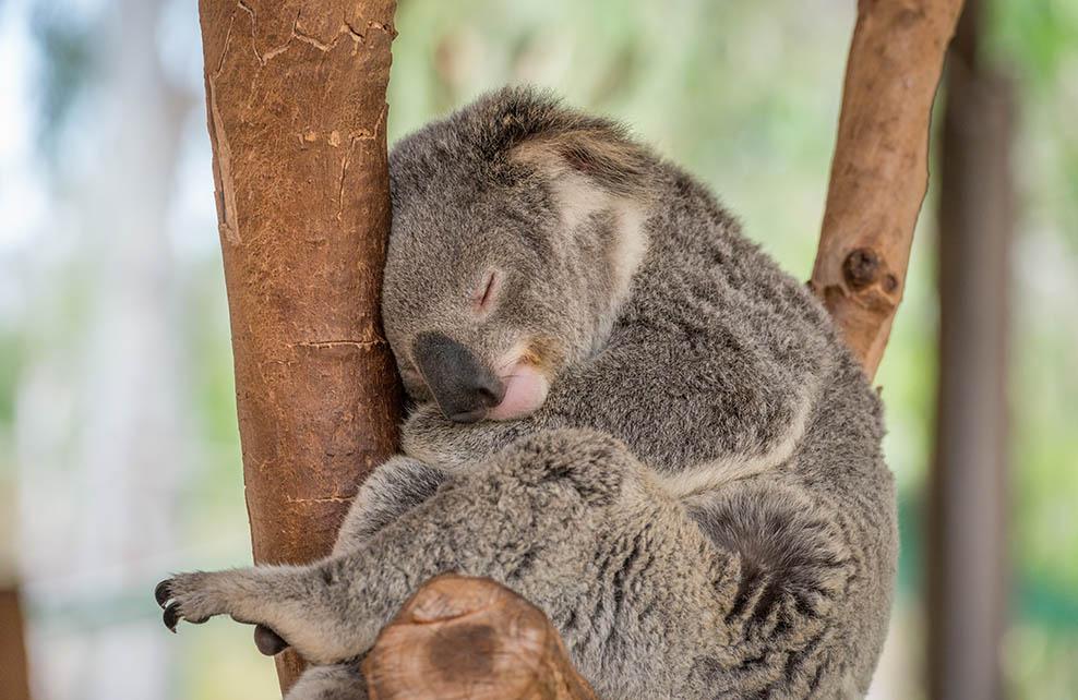 Koala endormi dans un arbre