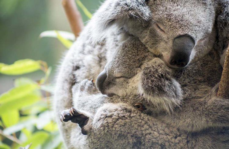 Maman et son bébé koala endormis dans les bras l'un de l'autre