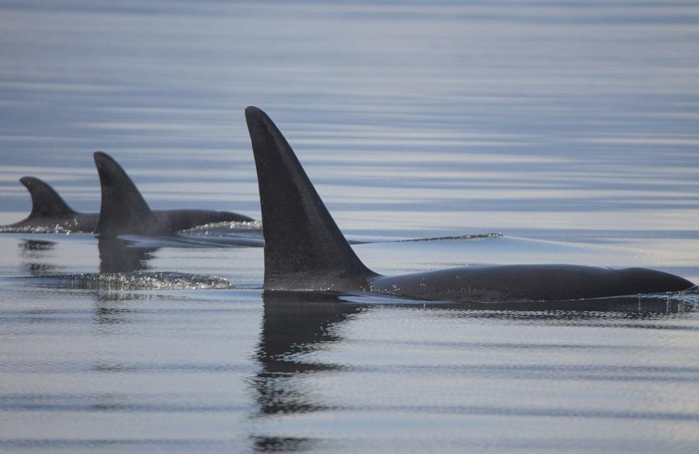 Famille d'orques en Alaska