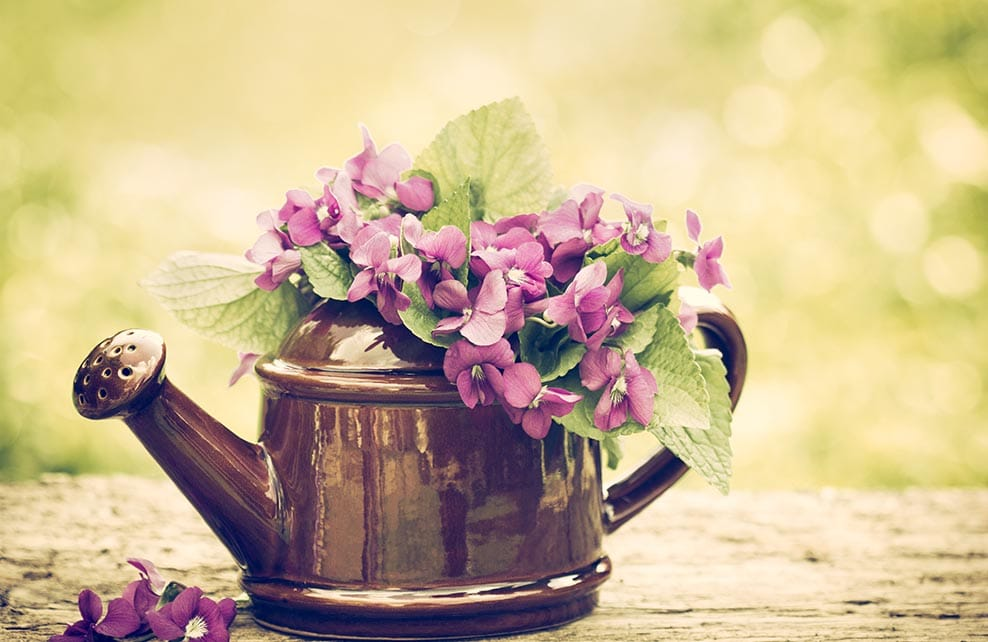 arrosoir avec violettes