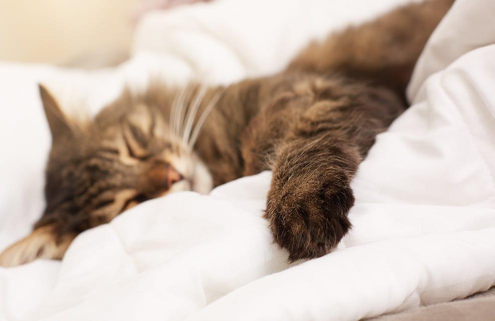 chat sur un lit profondément endormi