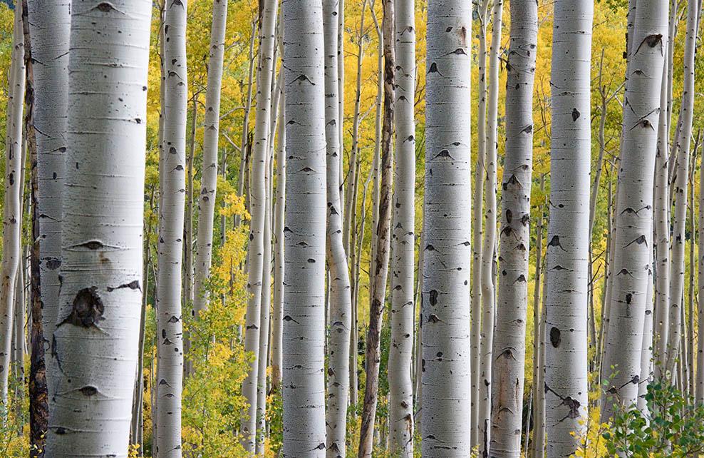 troncs de bouleaux dans la forêt