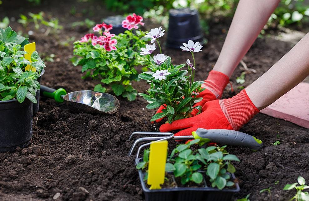 Mains d'une jeune femme en train de planter des fleurs dans un jardin