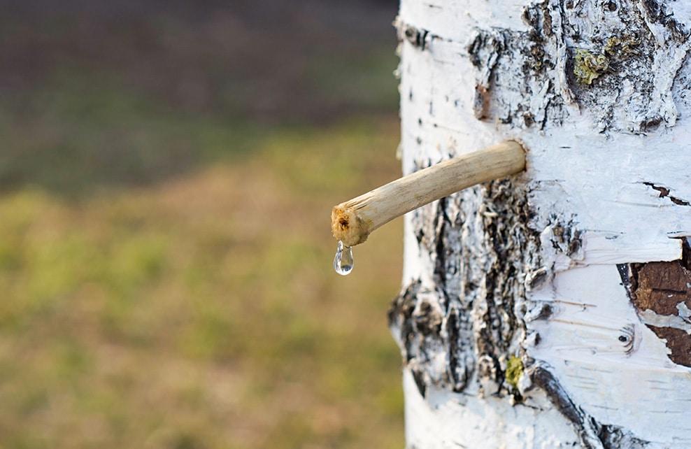 Sève de bouleau qui sort directement du tronc