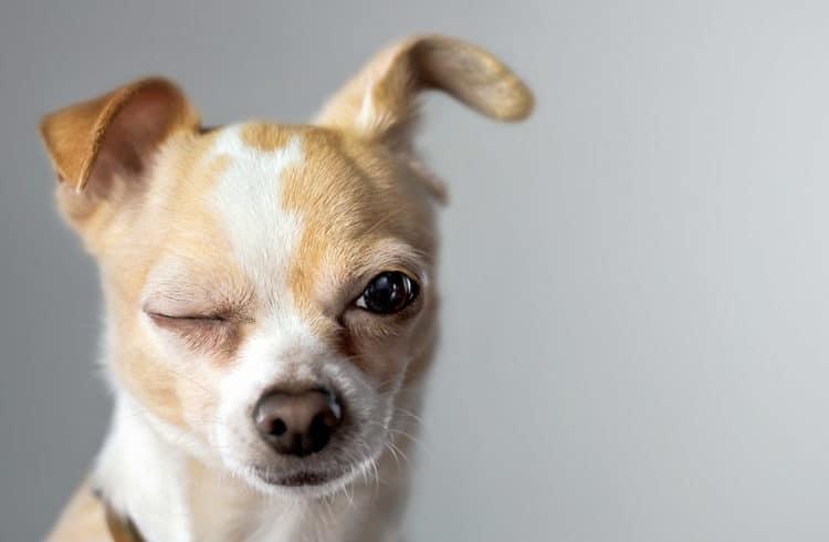 Chihuahua levant l'oreille et clignant de l'oeil