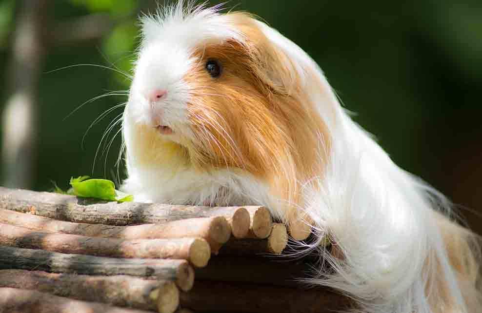 cochon d'inde à poils longs marron et blanc