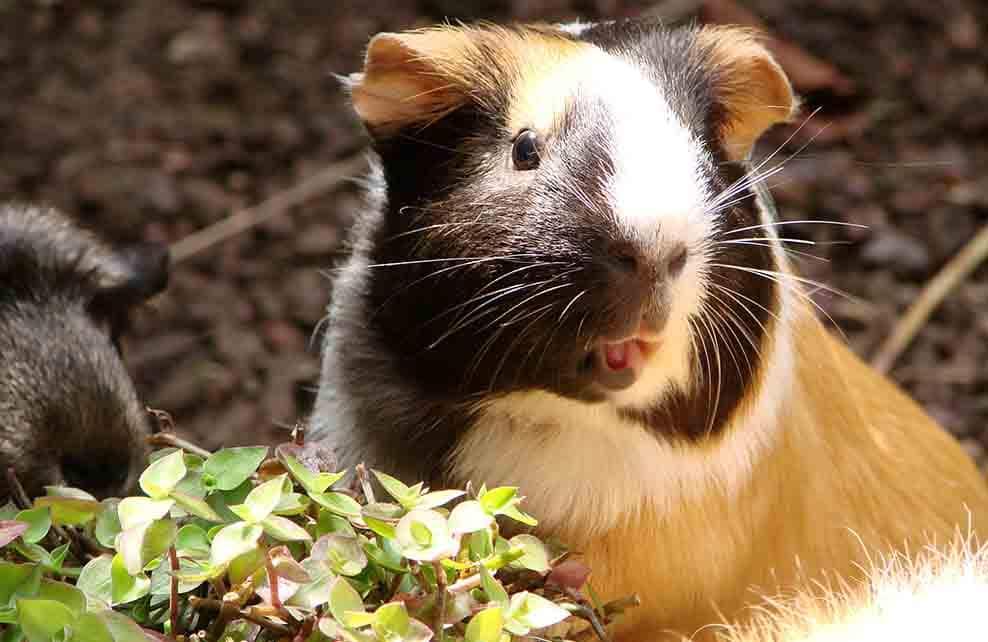 Cochon d'inde tricolore qui tire la langue