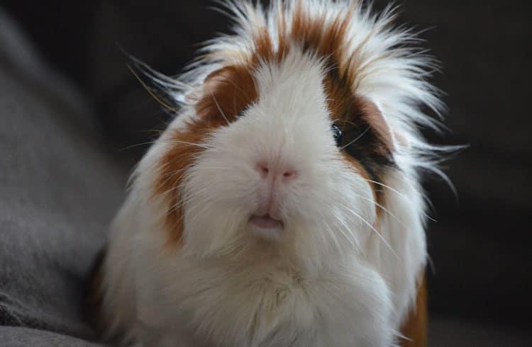 Cochon d'inde faisant une tête marrante