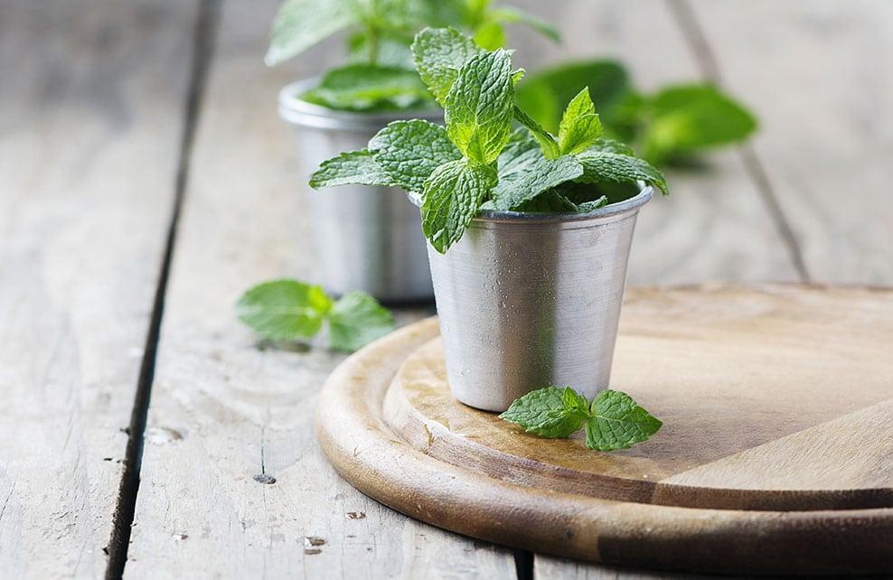 Menthe cultivée dans un pot