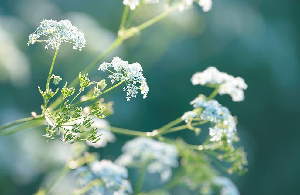 Plante anis
