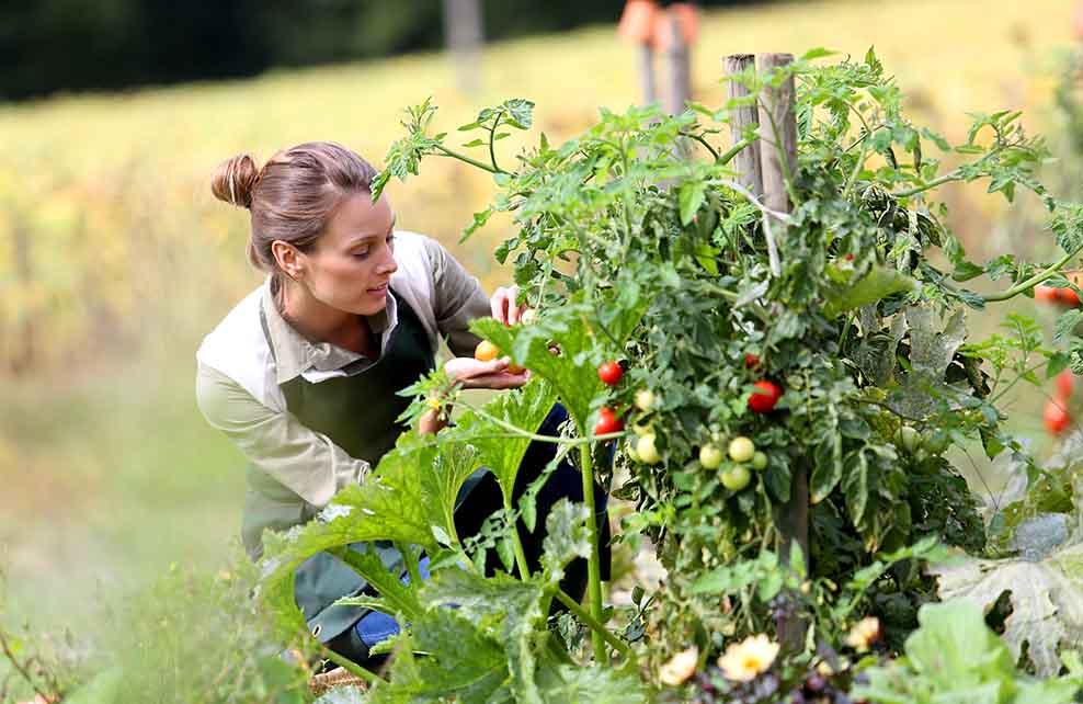 Femme cueillant des tomates dans un potager