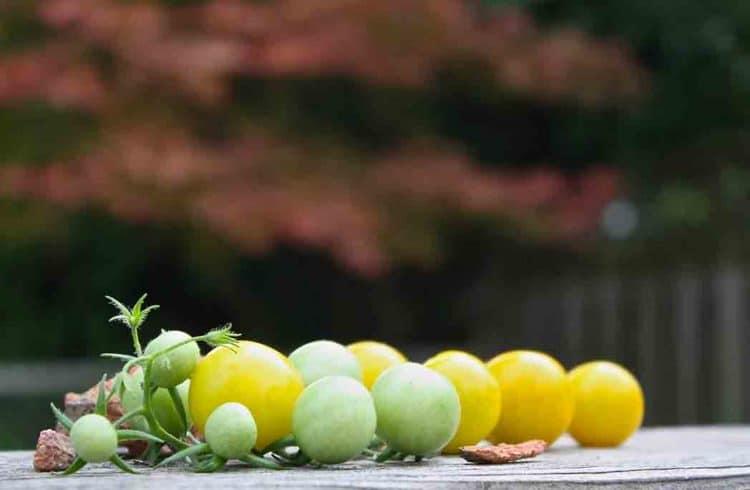 Focus tomates cerises vertes et jaunes