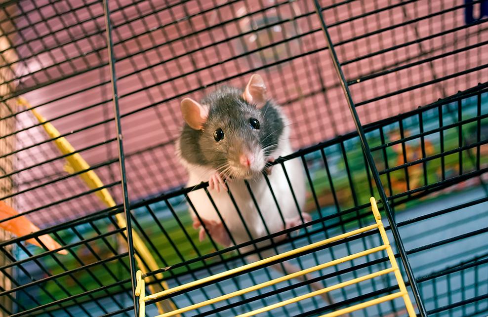 rat essayant de sortir de sa cage
