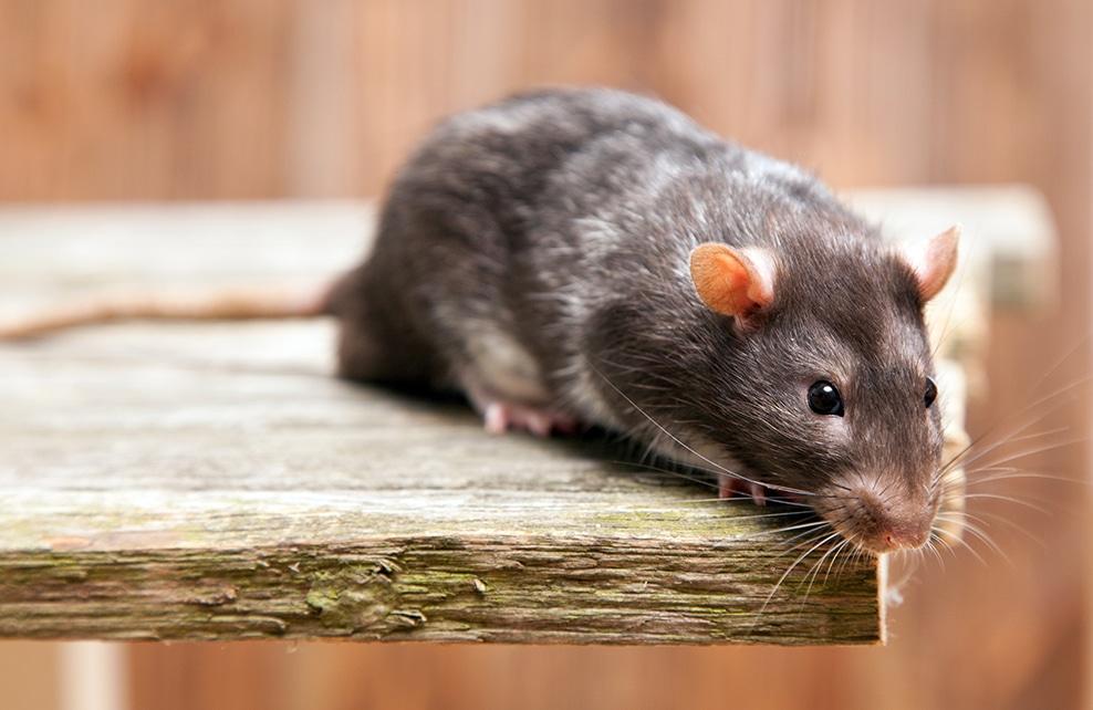 gros plan de rat mignon sur planche de bois