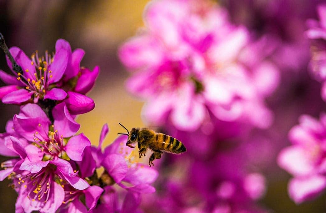 Les plantes mellifères à semer pour protéger les abeilles