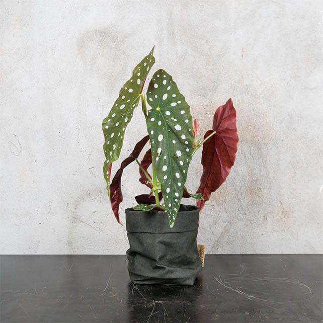 begonia_maculata