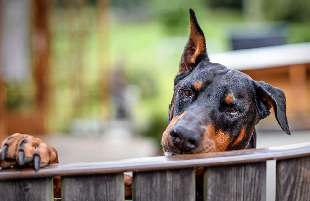 Un chien dobermann regardant par dessus une barrière