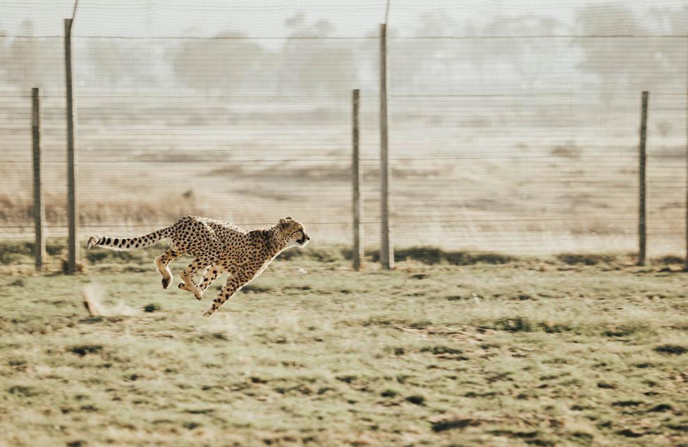 Guépard en train de courir