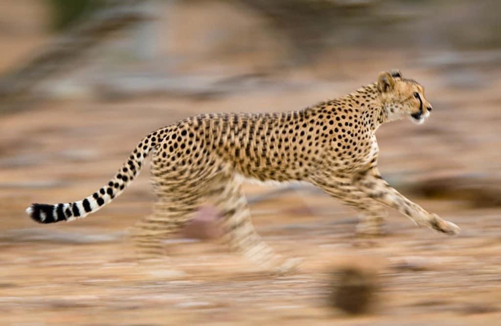 10 des animaux les plus rapides de la planète