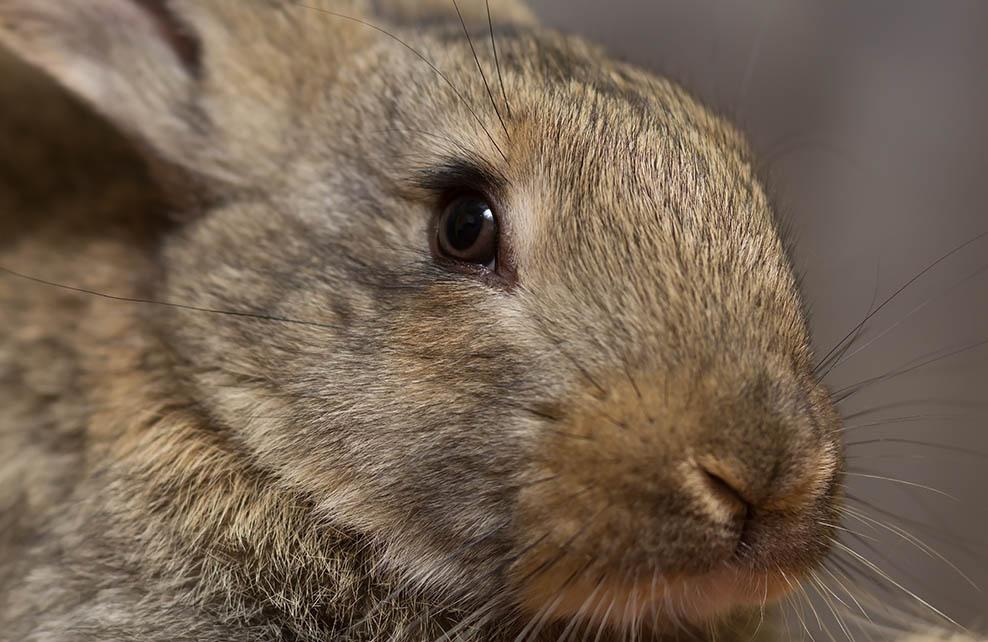 Gros plan sur la tête d'un lapin
