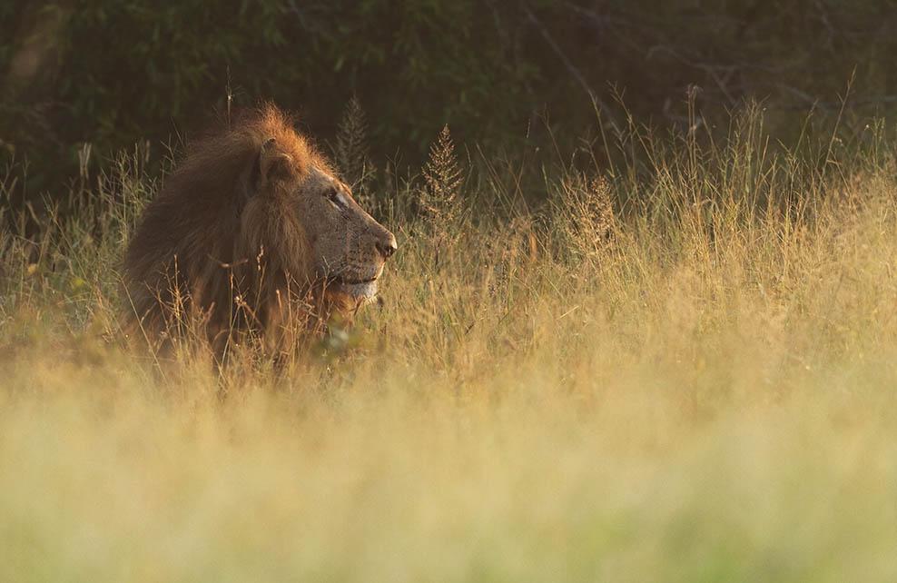 Tête de lion dépassant des hautes herbes