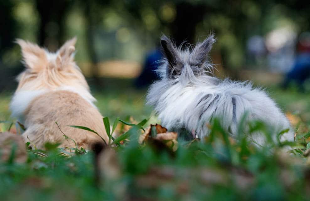 Deux lapins de dos