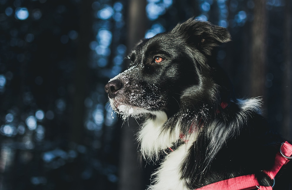 chien regardant au loin