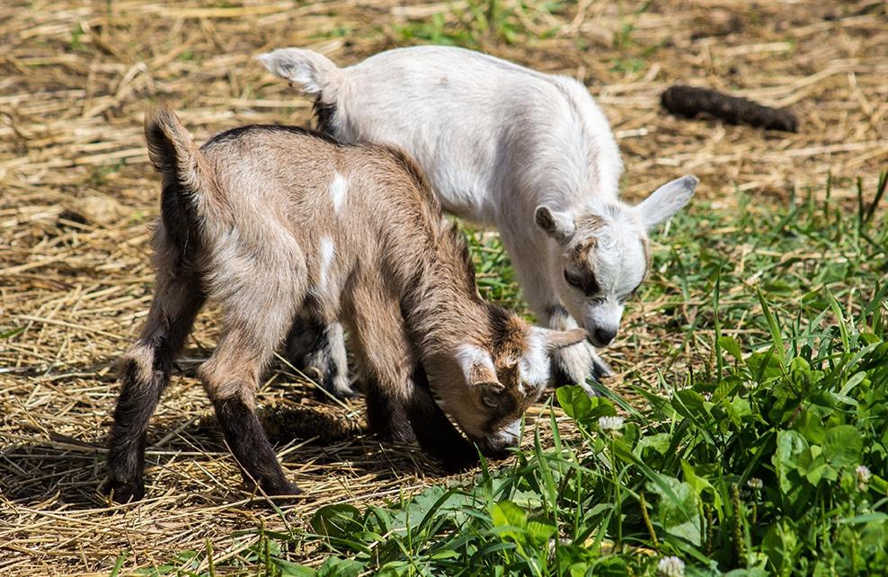 deux chèvre naine entrain de brouter