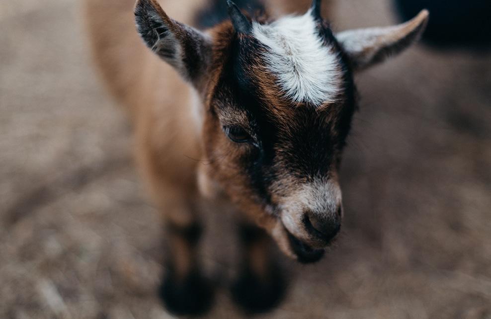 petite chèvre marron et noir et blanc en gros plan
